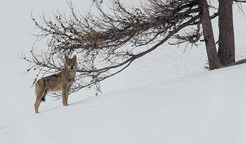 Loup - Mâle alpha en en arret