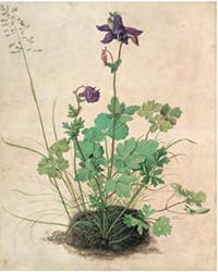 Ancolie - Dürer