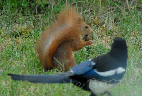 Pie bavarde et écureuil