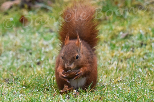 Un écureuil roux mange une noix