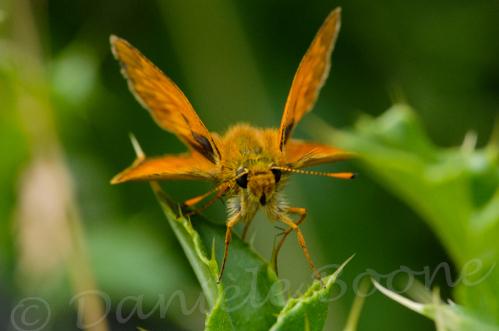 Hespérie (papillon de nuit)